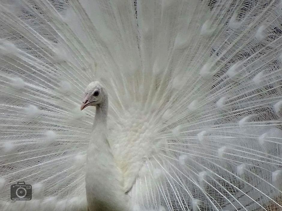 De witte pauw.. Landgoed Staverden!!