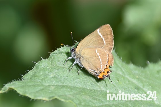 White lettered Hairstreak