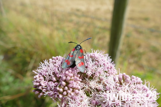 Six spot burnet moth feeding on hemp agrimony.
