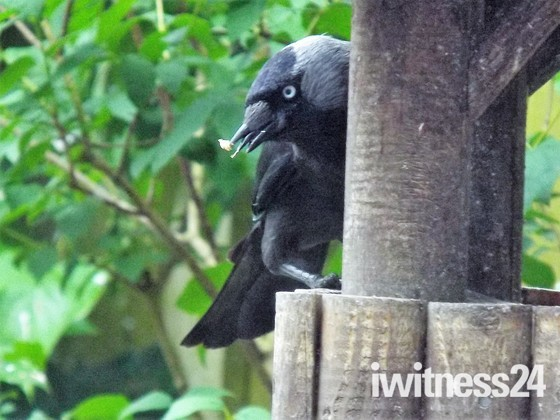 "A JACKDAW - ""TABLE IMAGES"""