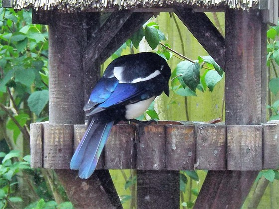 A MAGPIE ON THE BIRD TABLE