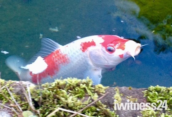 Look up..carp in pond