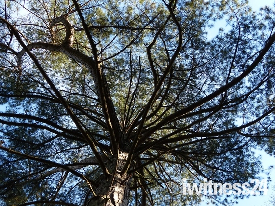 LOOK UP, TREE CANOPY