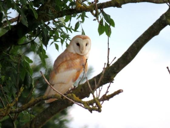 Barn owl at Beeston