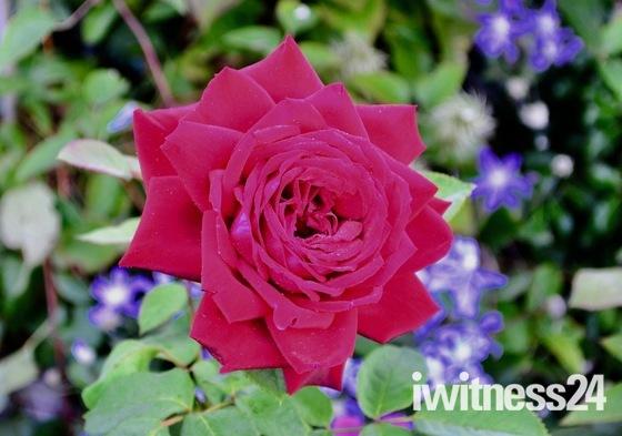 English rose in morning dew