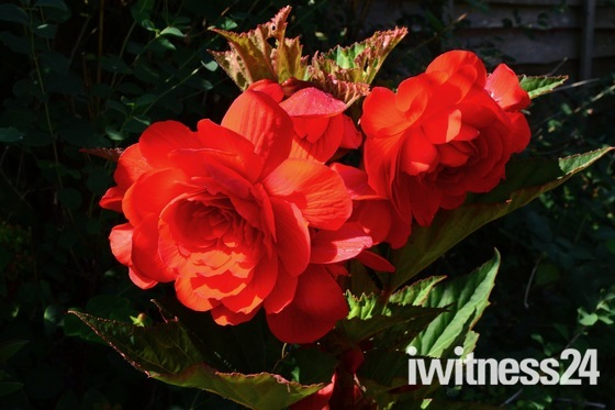 Begonia in full bloom