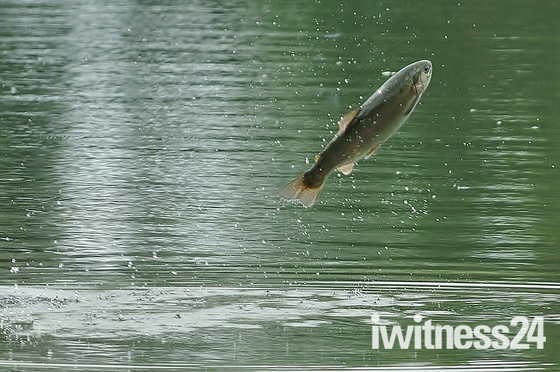 Trout Jumping for flies at Lackford Lakes yesterday