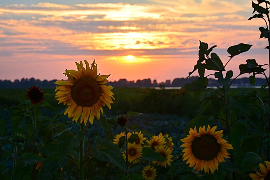 Zonnebloemen bij zonsondergang.