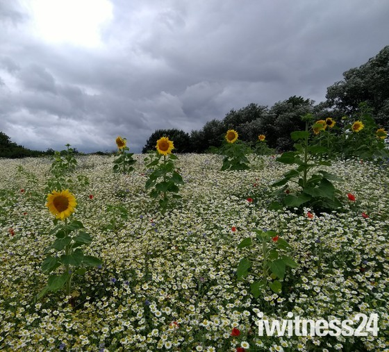 Sunflowers and wild flowers at the Apex in Burnham