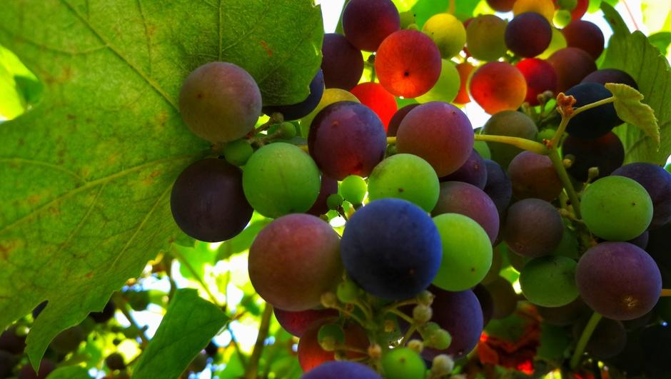 Kleurrijke druiven