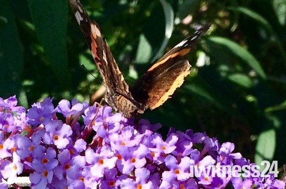Butterflies enjoying the buddleia