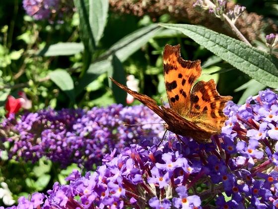 Butterflies enjoying the buddleia