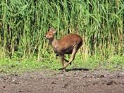 Water Deer on the run