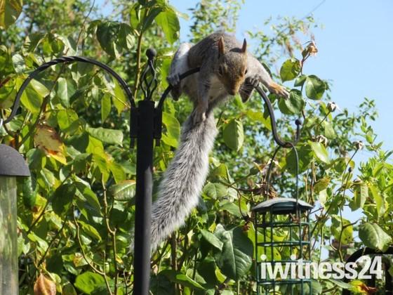 Cheeky squirrel in our garden