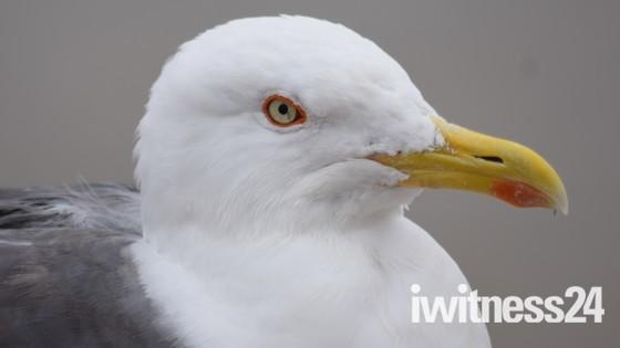 Lesser Black-back Gull