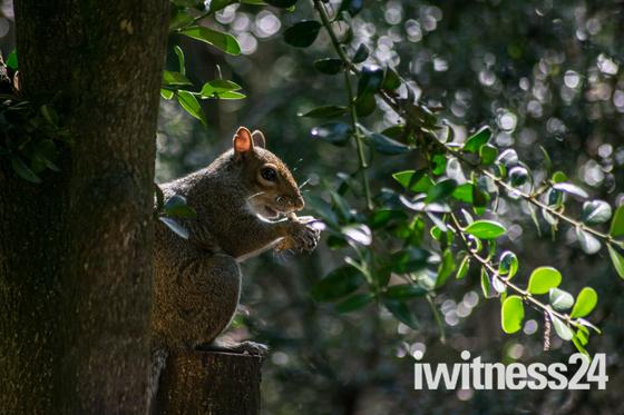madeira walk squirrels