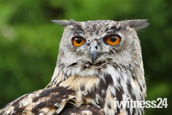 EAGLE OWL AT BANHAM ZOO