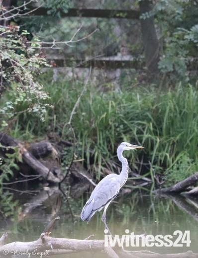 heron looking for breakfast