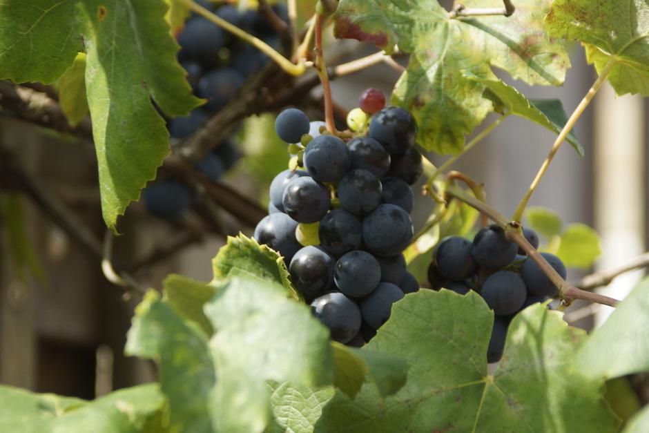 Prima druivenjaar