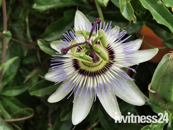 Passiflora (Passion Flower)