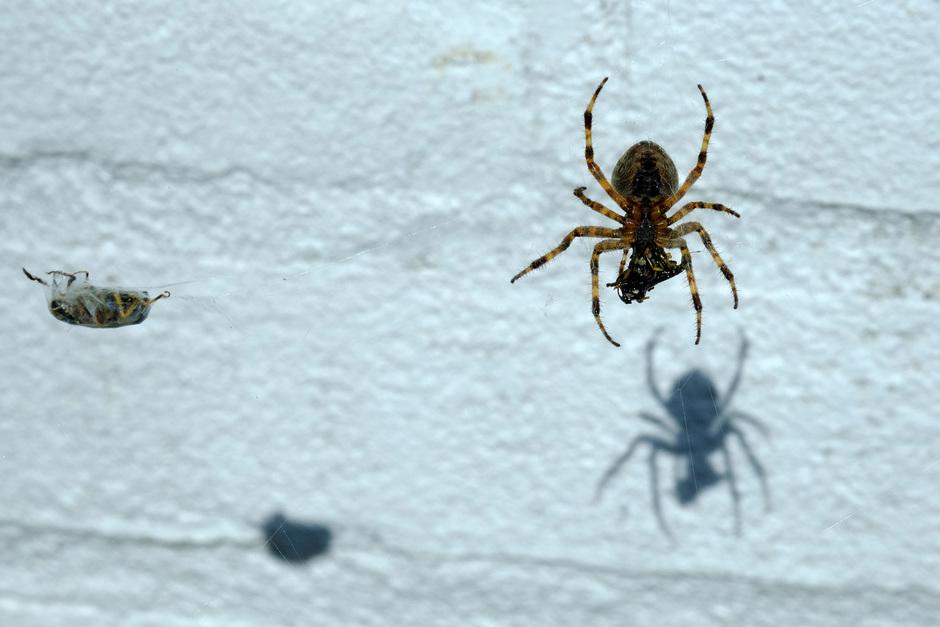 de spin, haar prooi en hun schaduw