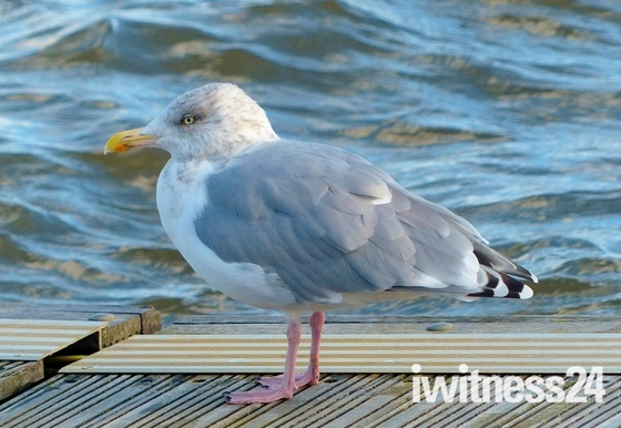 GULL RESTING AT THE WATERS EDGE