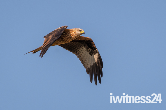 Red Kites at Buckenham
