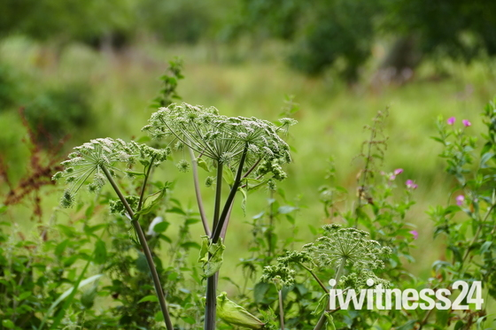 COW PARSLEY ALONG THE RIVER BANK