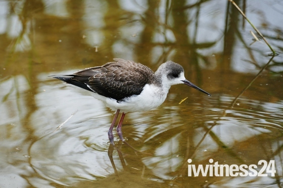 BLACK WINGED STILT AT PENSTHORPE