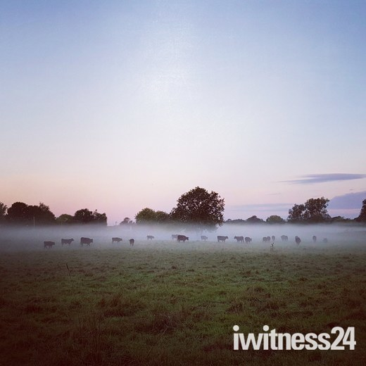 Misty Cattle