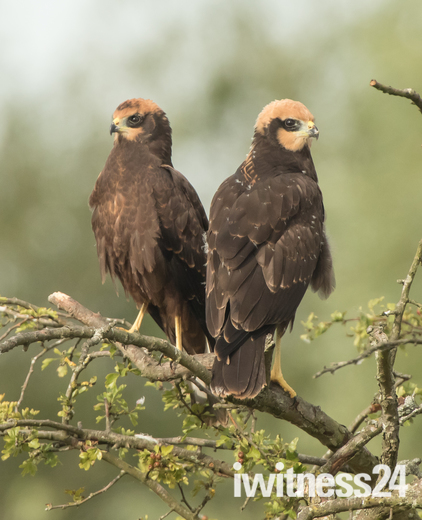 Juvenile Marsh Harriers.