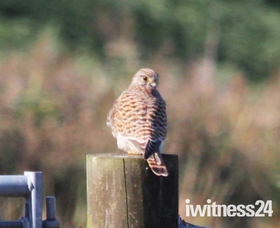 Kestrel on gate post Oulton marshes