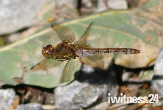 Oulton Marsh Dragonfly