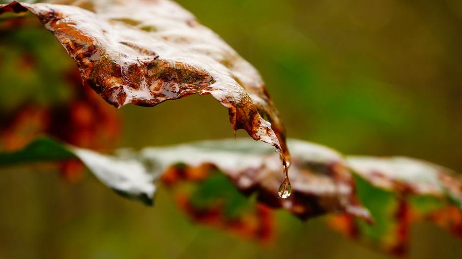 Druppel aan herfstblad.