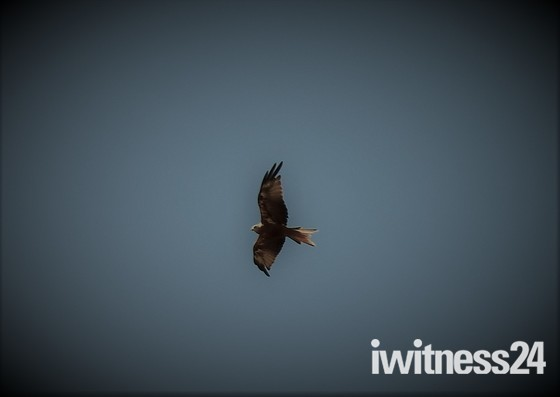Red Kites in Oxford