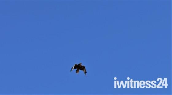 Red Kites in Oxford