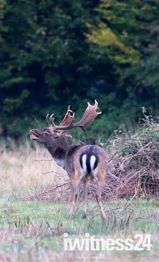 bellowing bucks