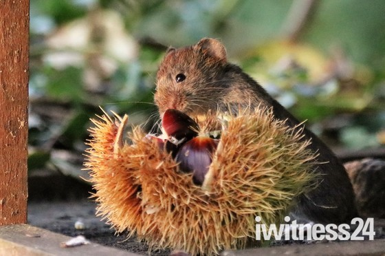 Victor the vole eating a chestnut