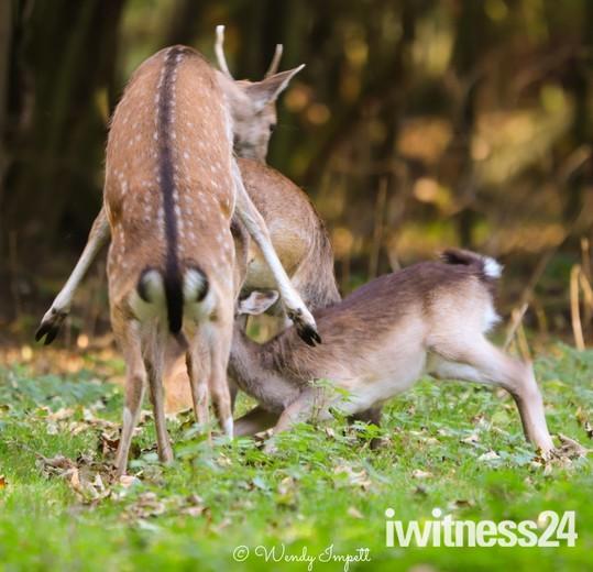 mating at the manor