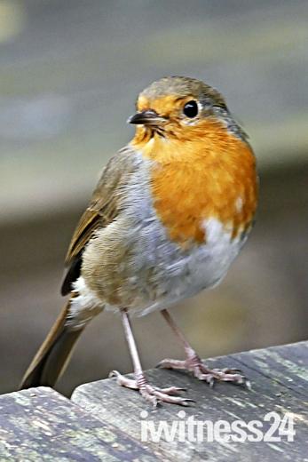 Oh so tame robin