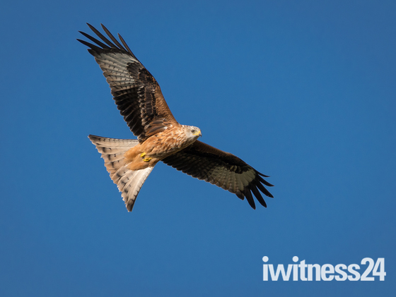 Red Kite High up