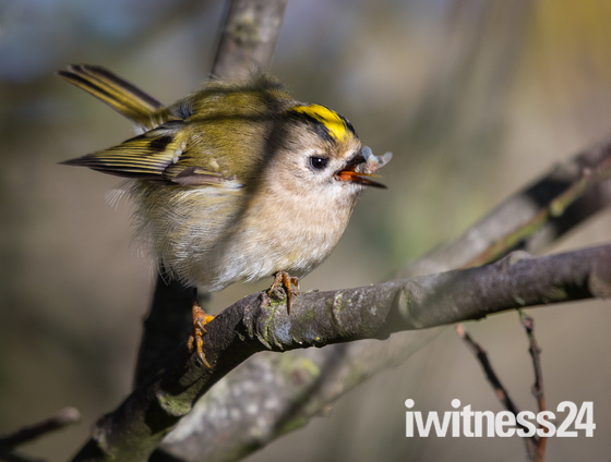 Goldcrest gets a fly