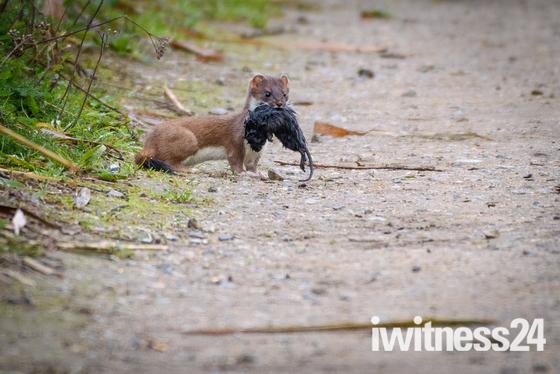 Water vole breakfast
