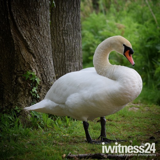 mute swan on guard