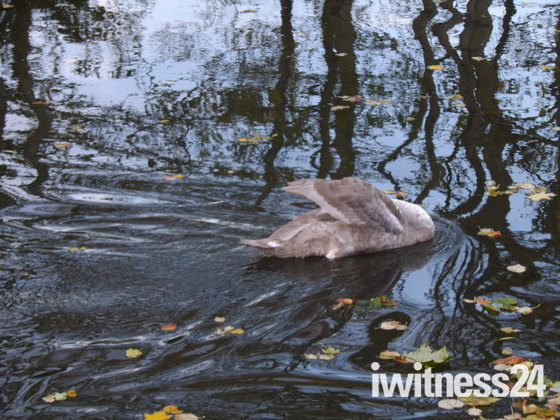 SWANS ON THE RIVER WENSUM PART 2 - (FINAL PART)