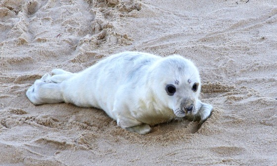 Grey seal pups on Horsey beach