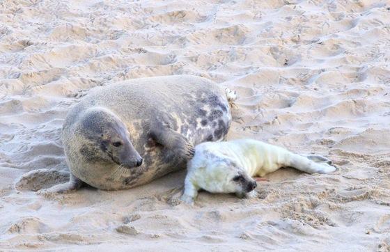 Grey seal pups on Horsey beach