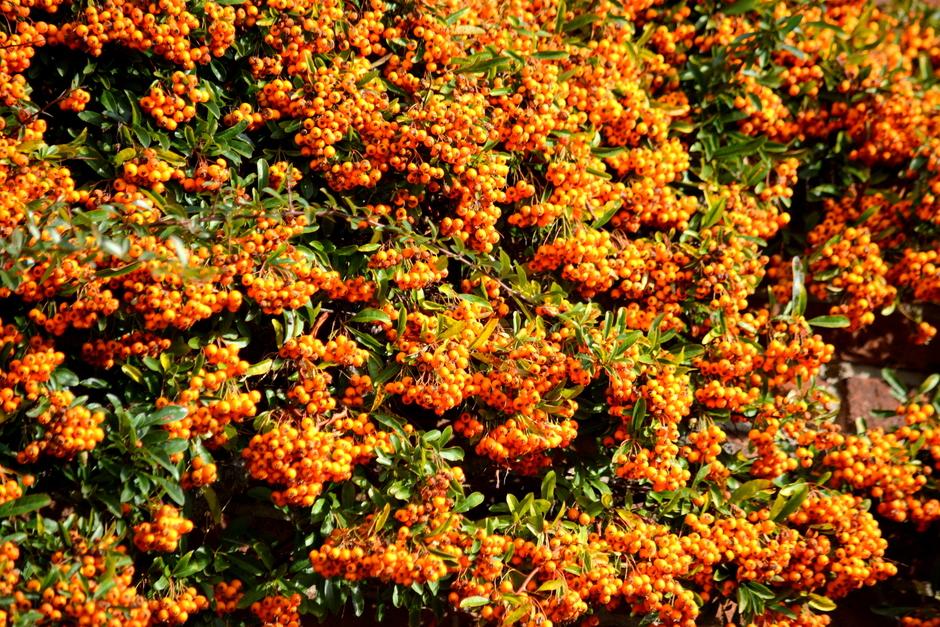 Herfst overal  bessen en bladeren