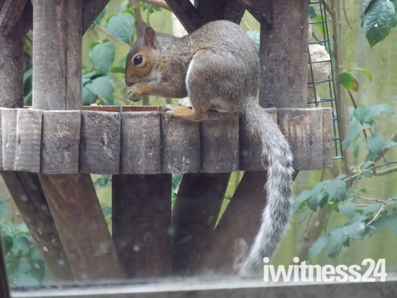A FEMALE GREY SQUIRREL ON THE BIRD TABLE