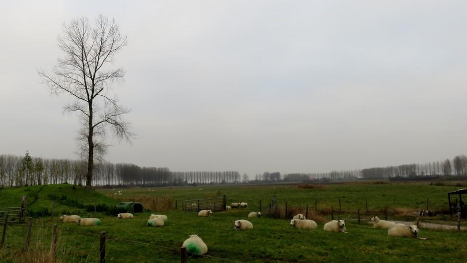 Gedekte schapen